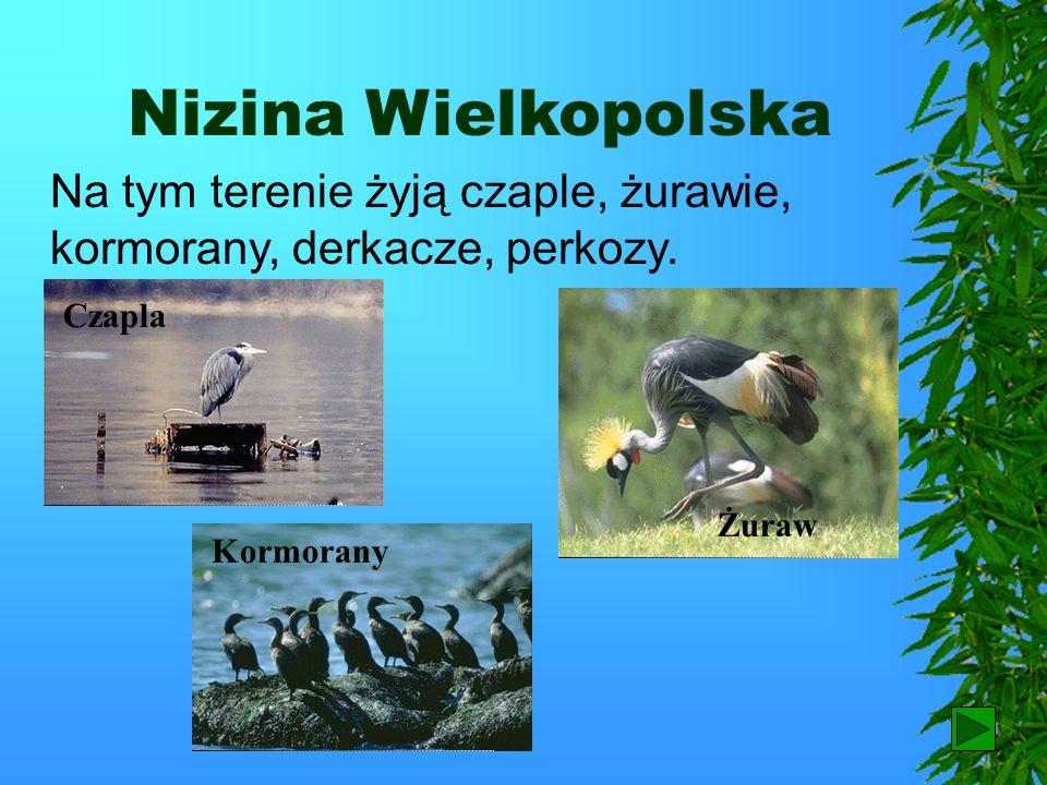 Nizina Wielkopolska Na tym terenie żyją czaple, żurawie, kormorany, derkacze, perkozy. Czapla. Żuraw.