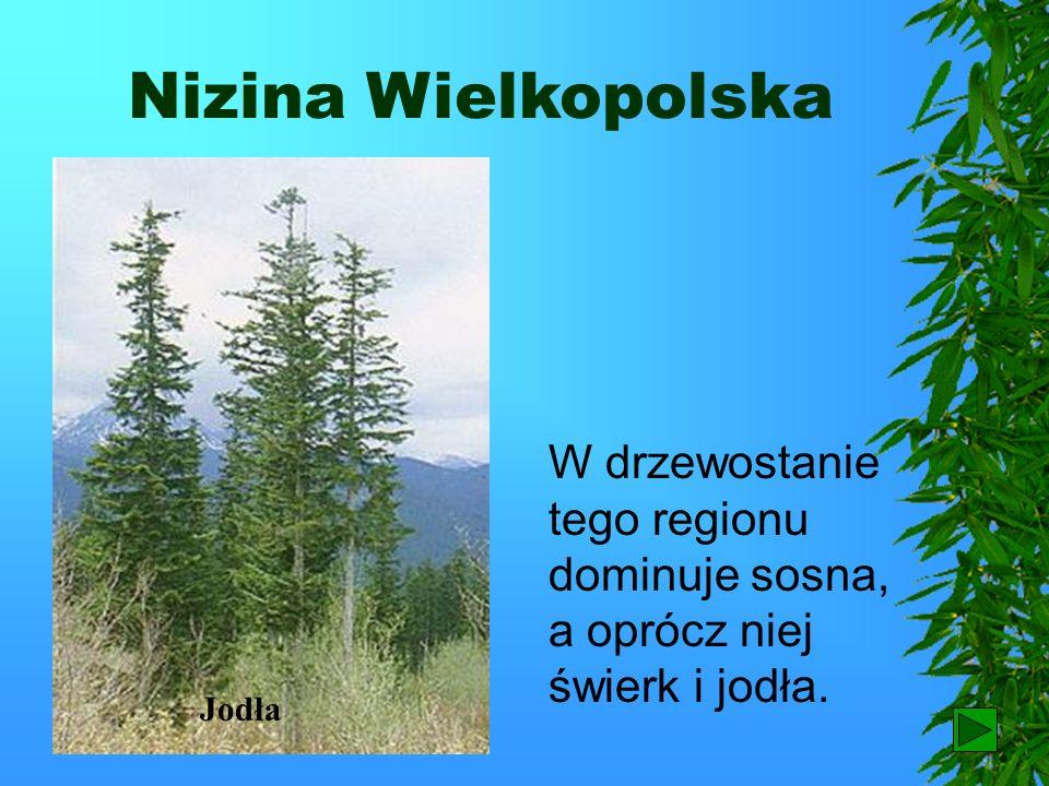 Nizina Wielkopolska W drzewostanie tego regionu dominuje sosna, a oprócz niej świerk i jodła. Jodła.