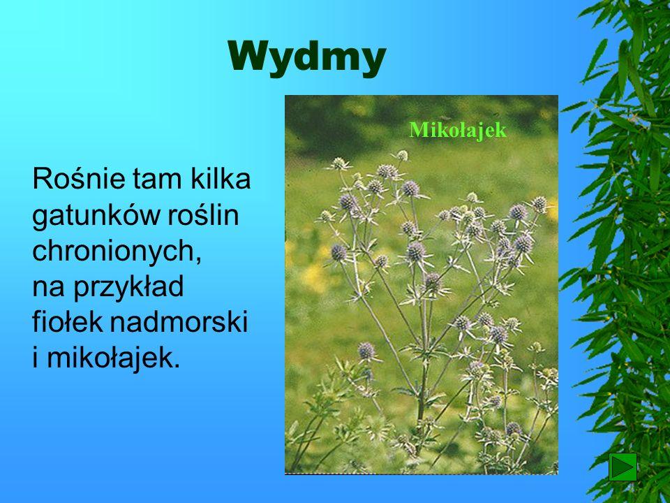 Wydmy Mikołajek. Rośnie tam kilka gatunków roślin chronionych, na przykład fiołek nadmorski i mikołajek.