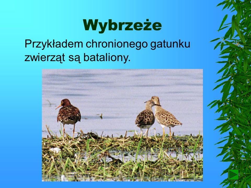 Wybrzeże Przykładem chronionego gatunku zwierząt są bataliony. 79