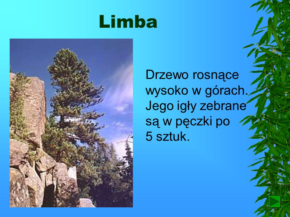 Limba Drzewo rosnące wysoko w górach. Jego igły zebrane są w pęczki po 5 sztuk. 8