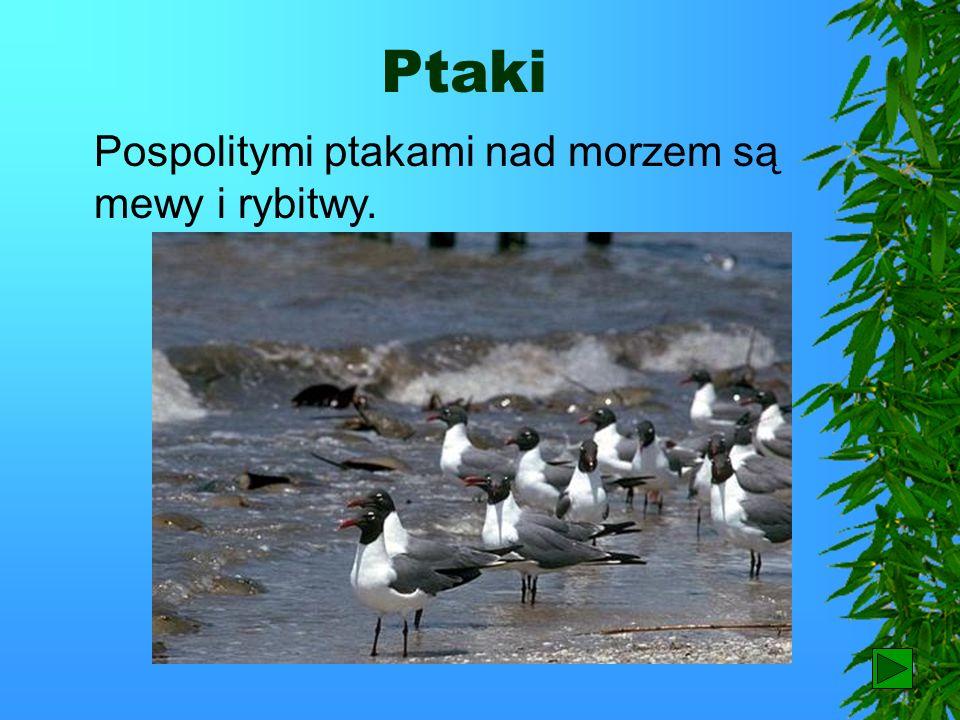 Ptaki Pospolitymi ptakami nad morzem są mewy i rybitwy. 81