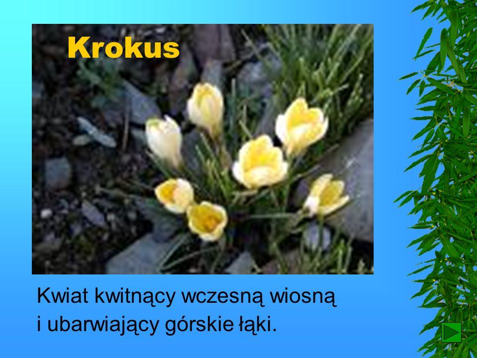 Krokus Kwiat kwitnący wczesną wiosną i ubarwiający górskie łąki. 9