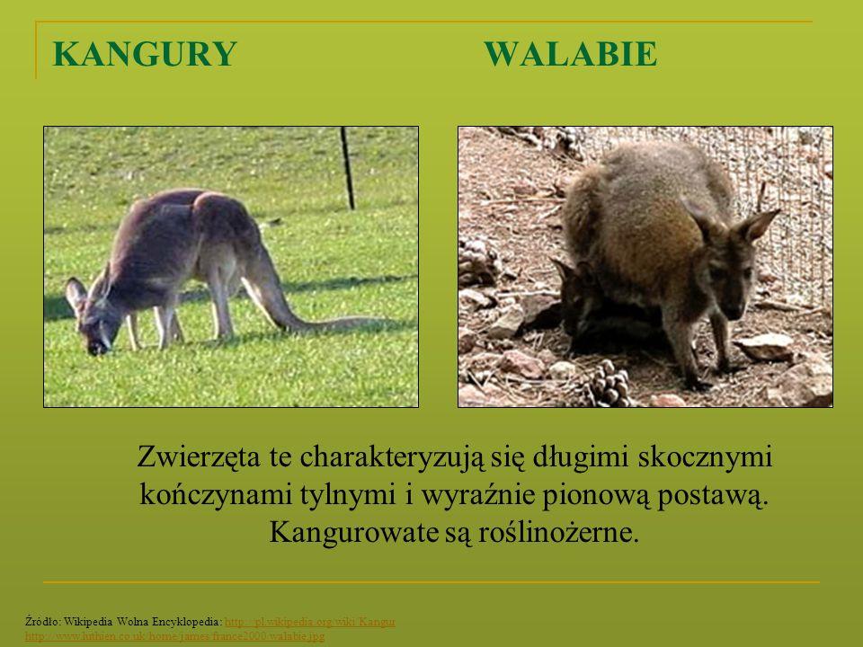 KANGURY WALABIE Zwierzęta te charakteryzują się długimi skocznymi kończynami tylnymi i wyraźnie pionową postawą. Kangurowate są roślinożerne.