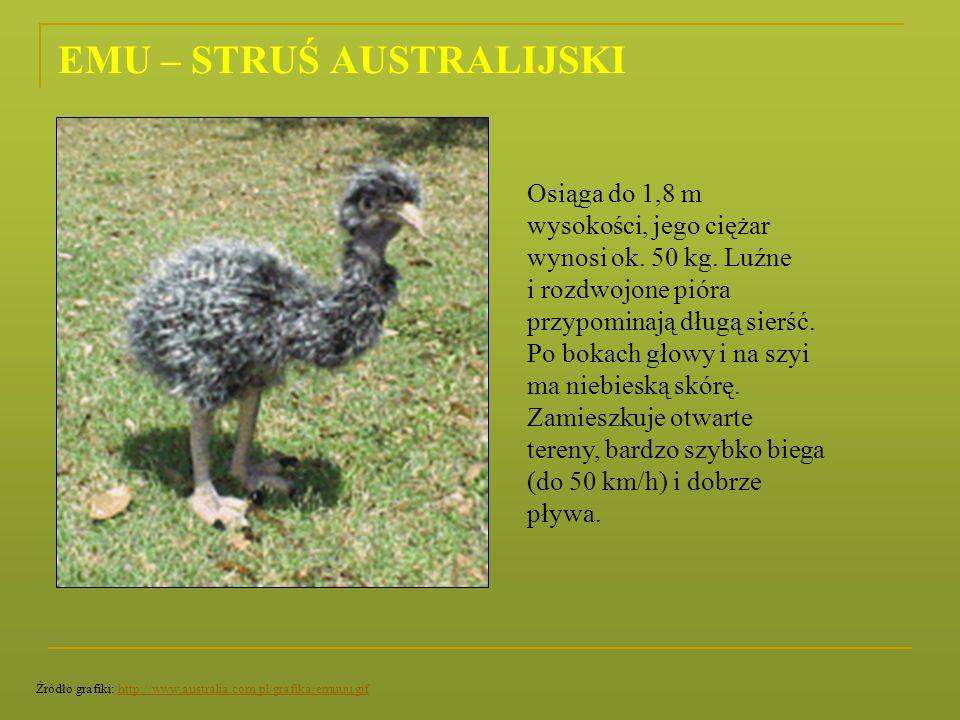 EMU – STRUŚ AUSTRALIJSKI