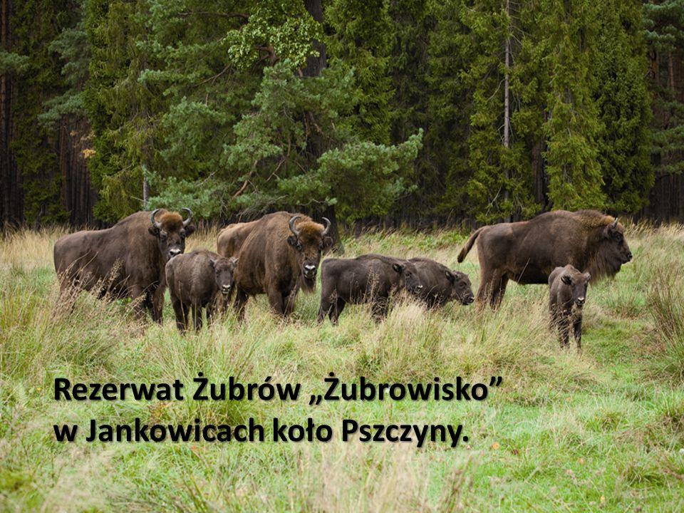 """Rezerwat Żubrów """"Żubrowisko"""
