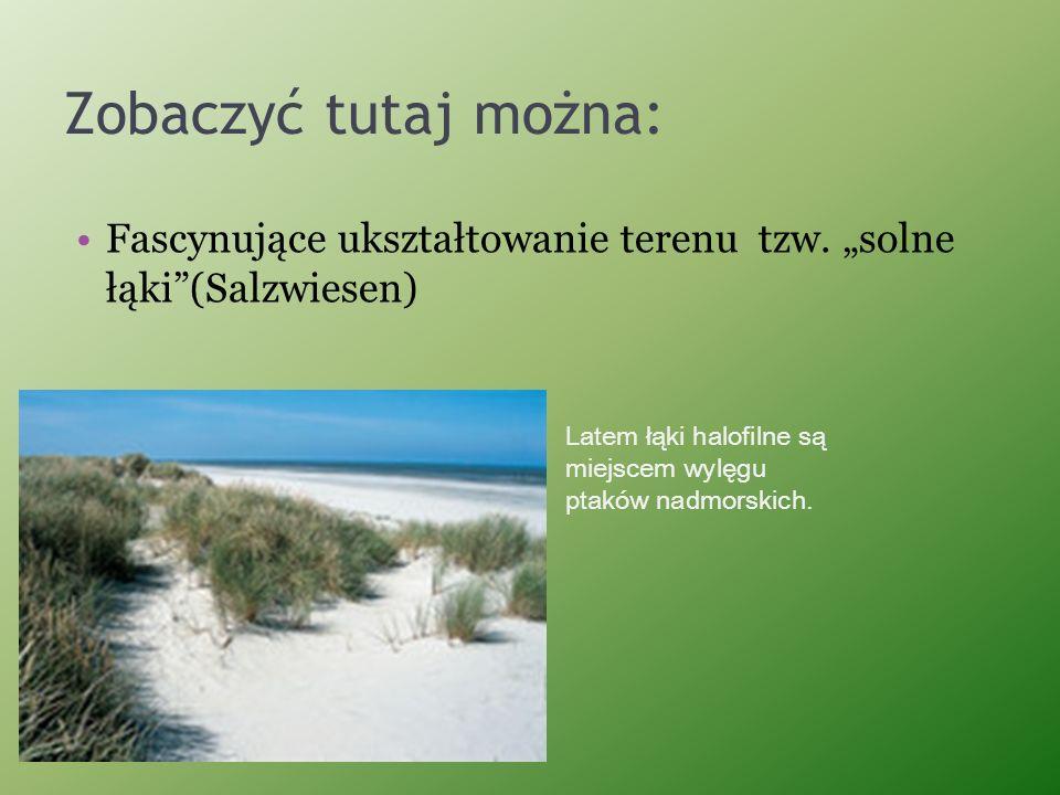 """Zobaczyć tutaj można: Fascynujące ukształtowanie terenu tzw. """"solne łąki (Salzwiesen) Latem łąki halofilne są."""