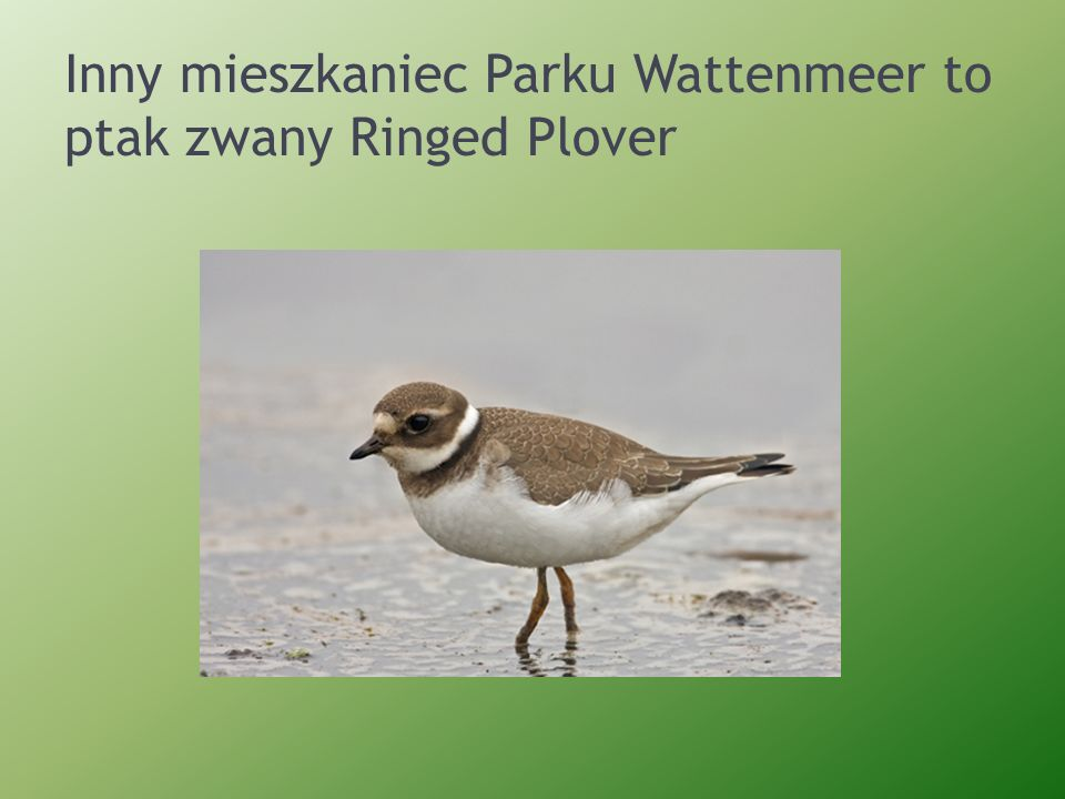 Inny mieszkaniec Parku Wattenmeer to ptak zwany Ringed Plover