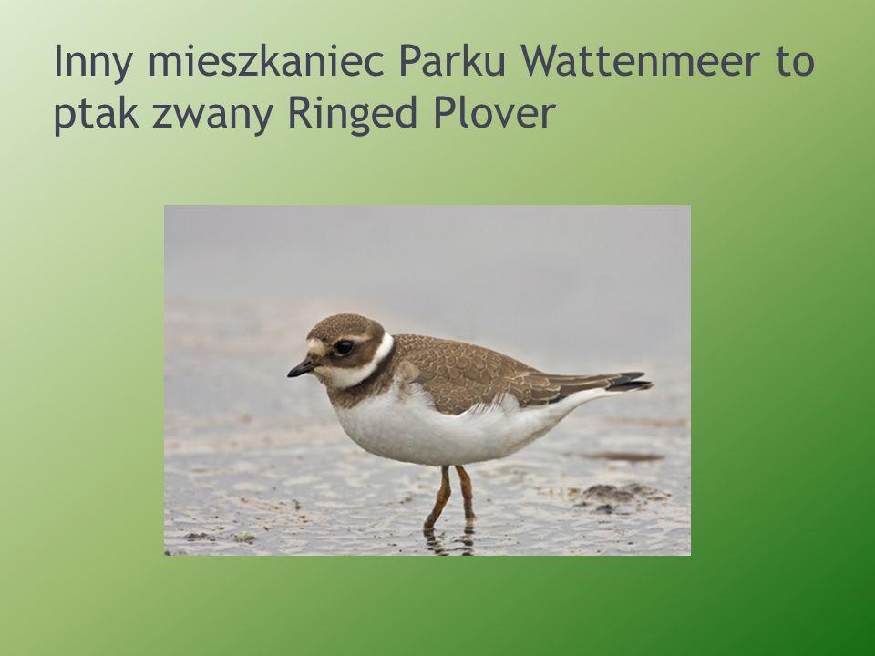 Inny mieszkaniec Parku Wattenmeer to ptak zwany Ringed Plover