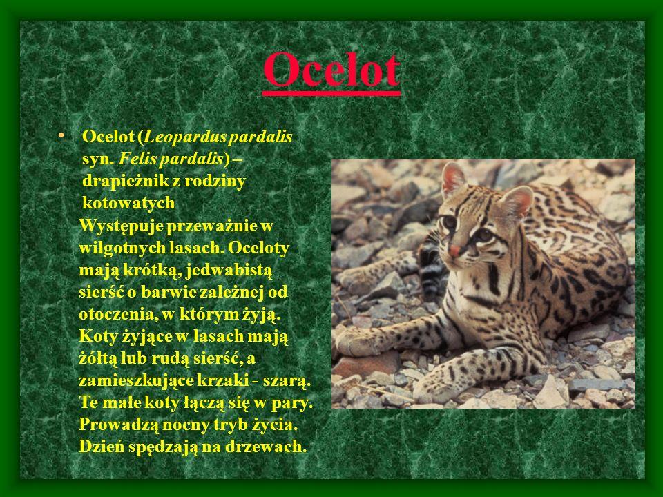 Ocelot Ocelot (Leopardus pardalis syn. Felis pardalis) – drapieżnik z rodziny kotowatych.