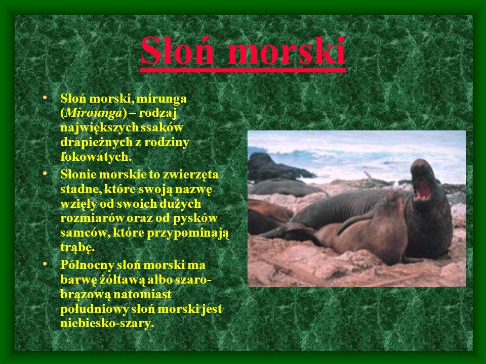 Słoń morski Słoń morski, mirunga (Mirounga) – rodzaj największych ssaków drapieżnych z rodziny fokowatych.