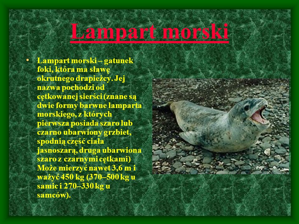 Lampart morski