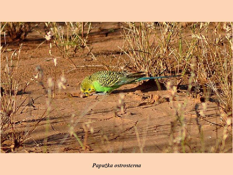 Papużka ostrosterna