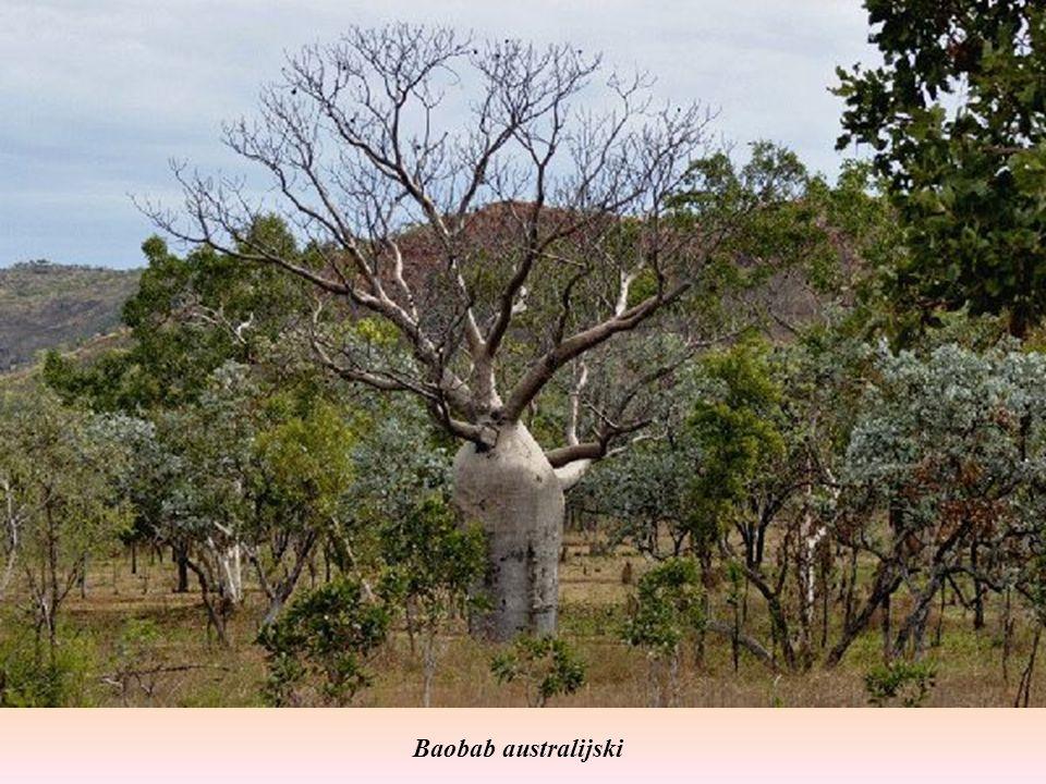 Baobab australijski