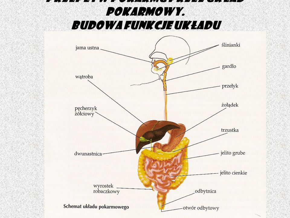 Przepływ pokarmu przez układ pokarmowy