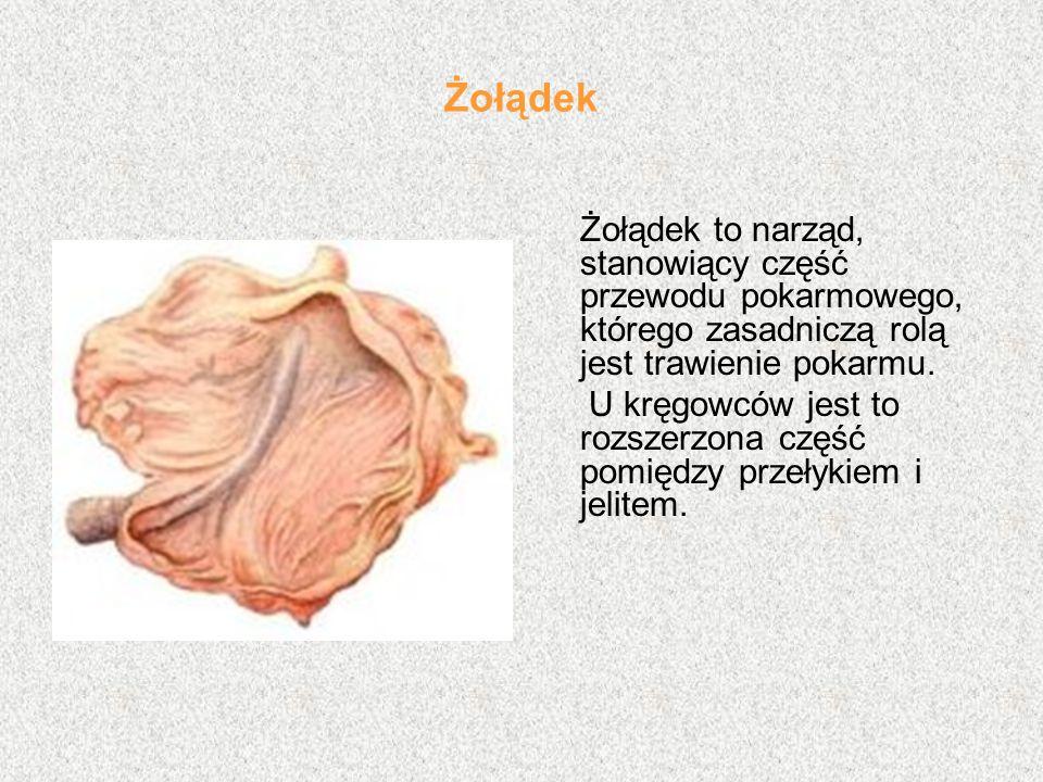 Żołądek Żołądek to narząd, stanowiący część przewodu pokarmowego, którego zasadniczą rolą jest trawienie pokarmu.