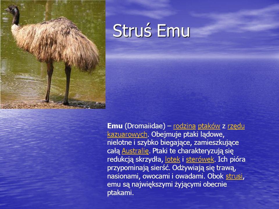 Struś Emu