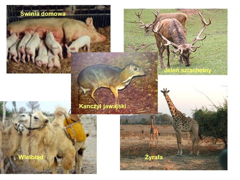Świnia domowa Jeleń szlachetny Kanczyl jawajski Wielbłąd Żyrafa