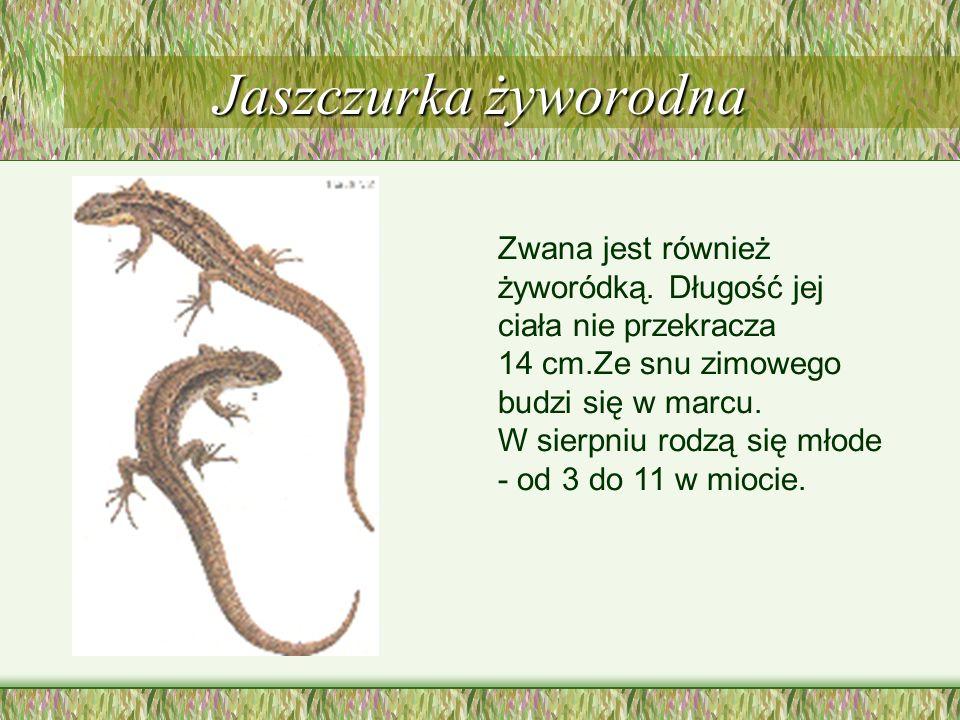 Jaszczurka żyworodna