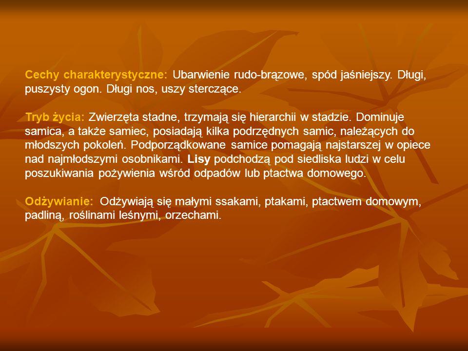 Cechy charakterystyczne: Ubarwienie rudo-brązowe, spód jaśniejszy