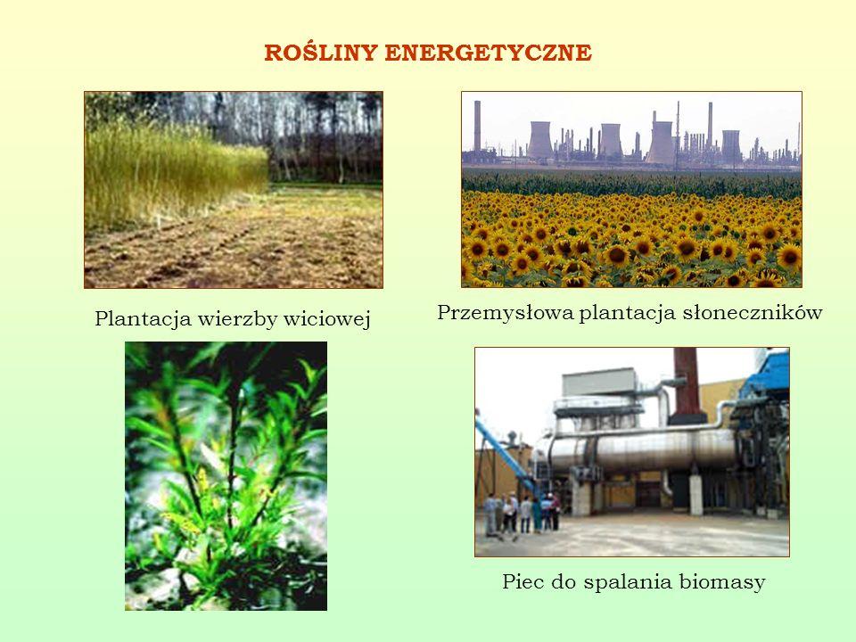 ROŚLINY ENERGETYCZNE Przemysłowa plantacja słoneczników