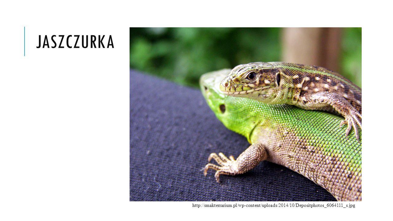 jaszczurka http://smakterrarium.pl/wp-content/uploads/2014/10/Depositphotos_6064111_s.jpg