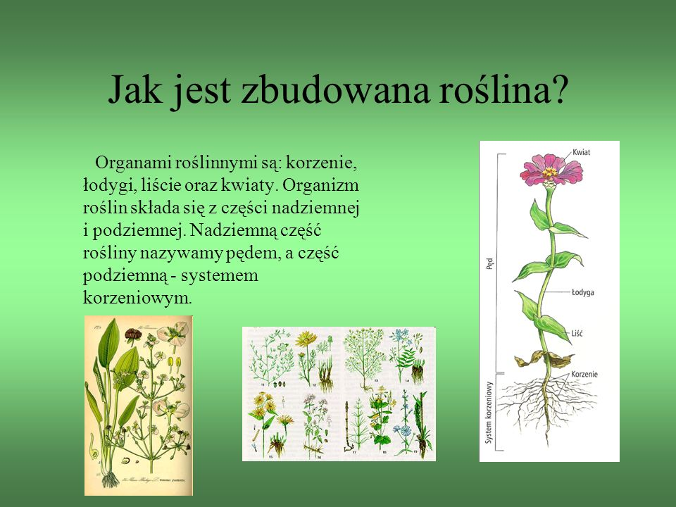 Jak jest zbudowana roślina