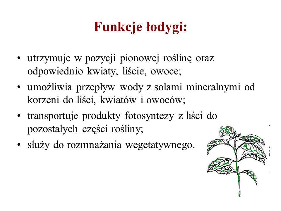 Funkcje łodygi: utrzymuje w pozycji pionowej roślinę oraz odpowiednio kwiaty, liście, owoce;