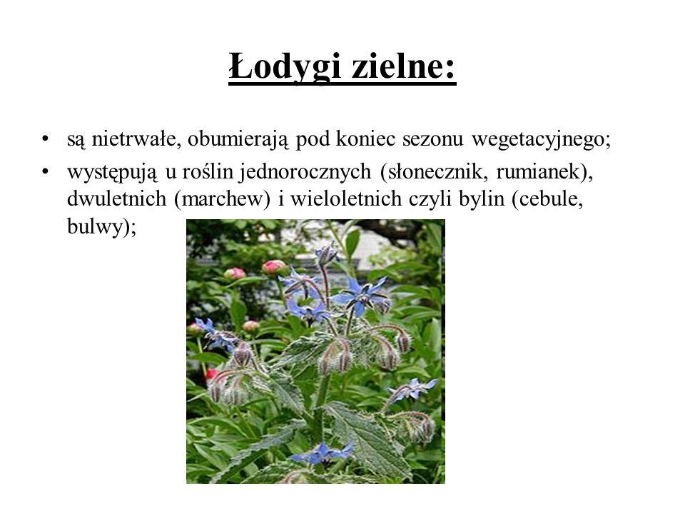 Łodygi zielne: są nietrwałe, obumierają pod koniec sezonu wegetacyjnego;