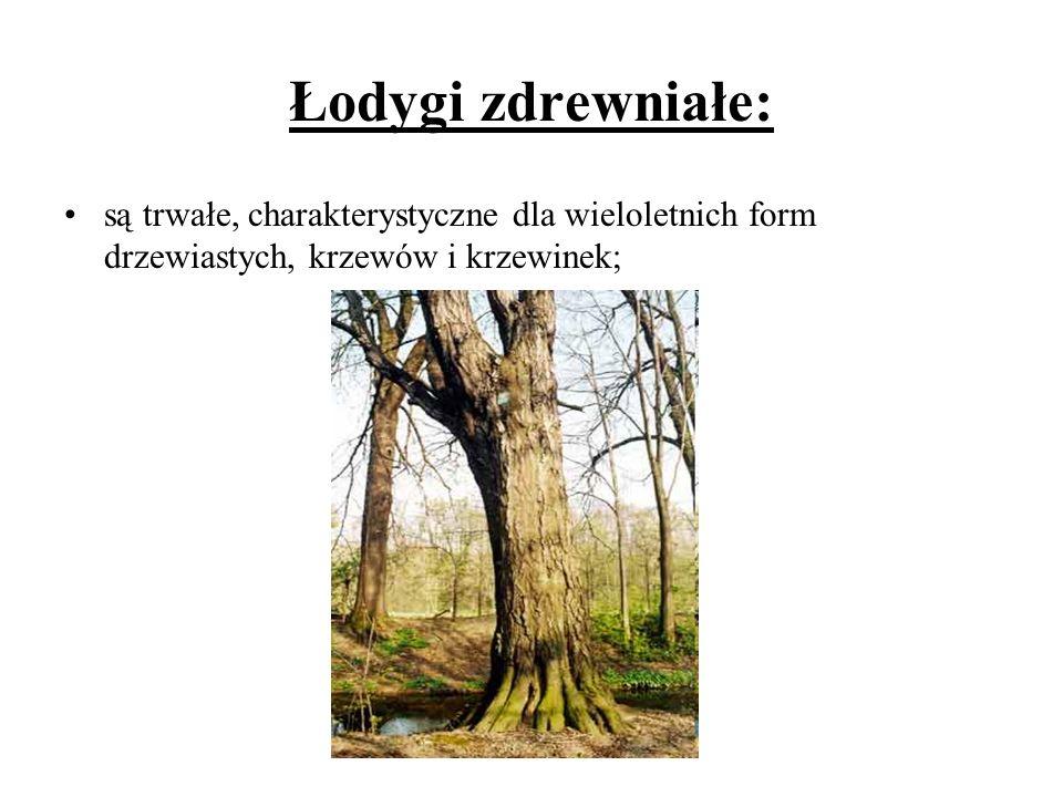 Łodygi zdrewniałe: są trwałe, charakterystyczne dla wieloletnich form drzewiastych, krzewów i krzewinek;