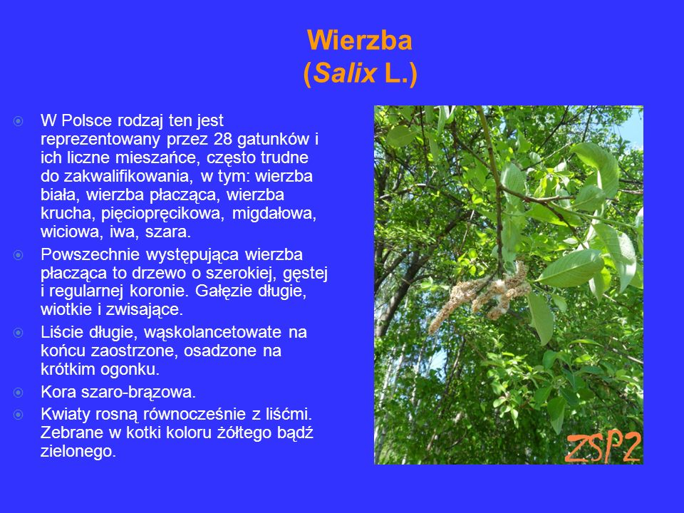 Wierzba (Salix L.)