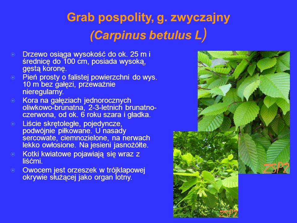 Grab pospolity, g. zwyczajny (Carpinus betulus L)
