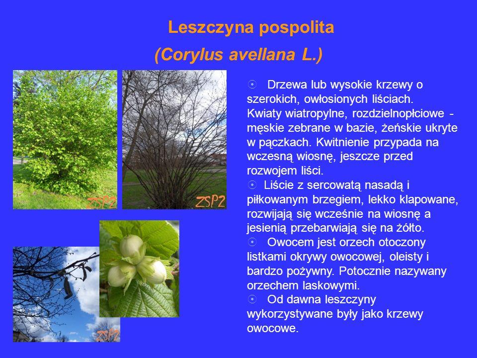 Leszczyna pospolita (Corylus avellana L.)