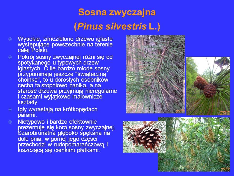 Sosna zwyczajna (Pinus silvestris L.)