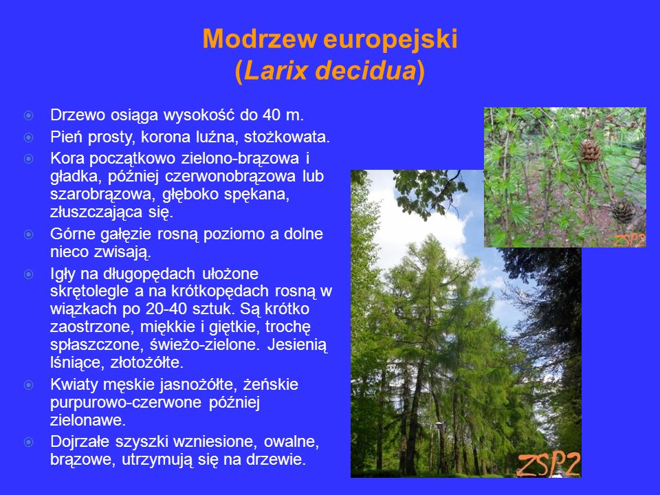 Modrzew europejski (Larix decidua)