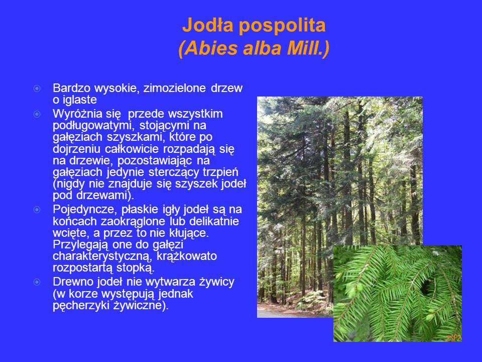 Jodła pospolita (Abies alba Mill.)