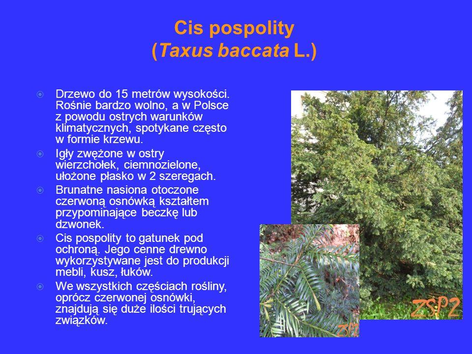 Cis pospolity (Taxus baccata L.)