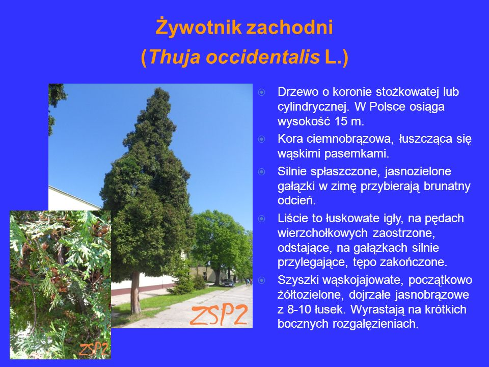 Żywotnik zachodni (Thuja occidentalis L.)