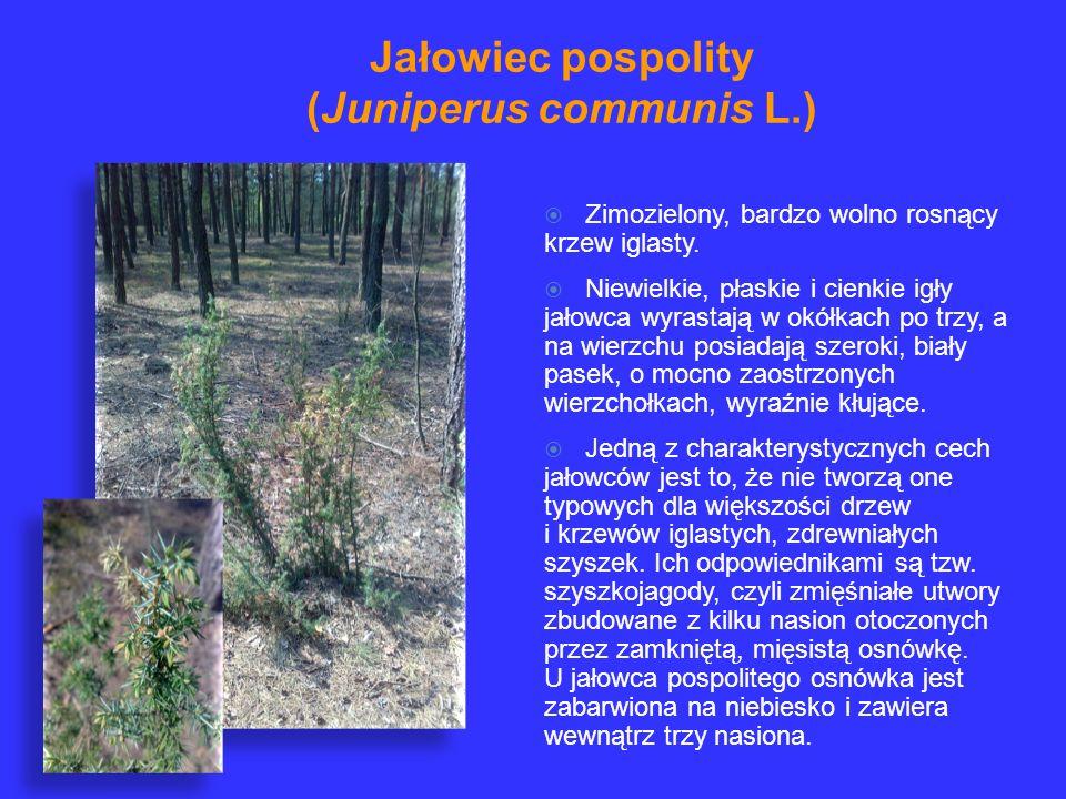 Jałowiec pospolity (Juniperus communis L.)