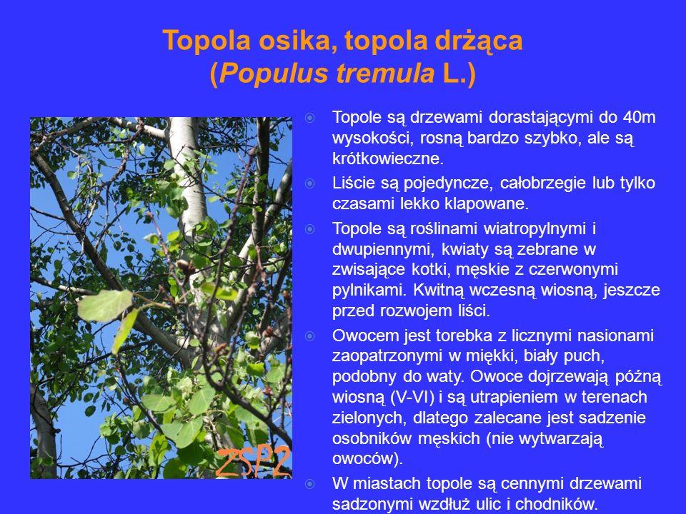 Topola osika, topola drżąca (Populus tremula L.)