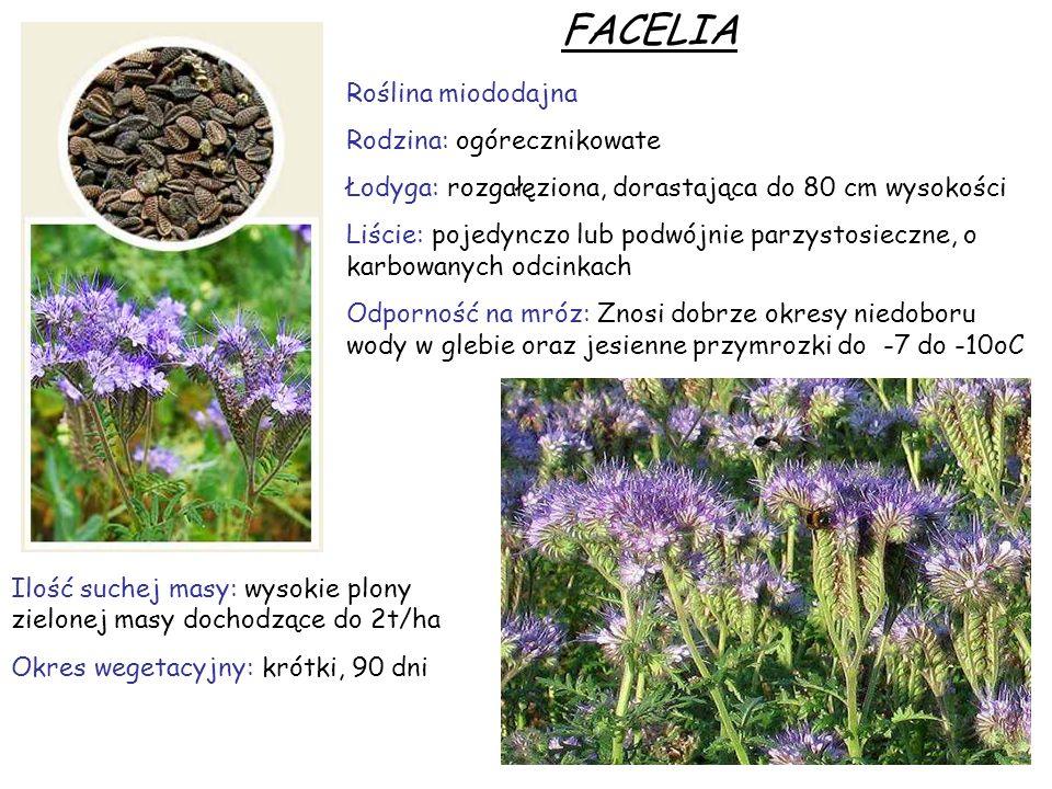 FACELIA Roślina miododajna Rodzina: ogórecznikowate