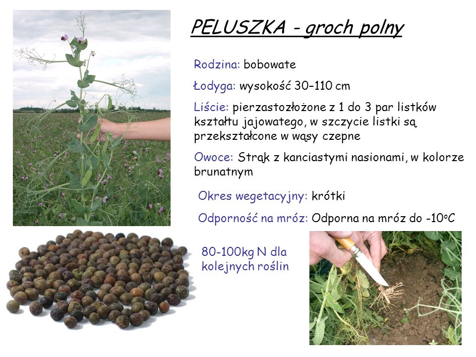PELUSZKA - groch polny Rodzina: bobowate Łodyga: wysokość 30–110 cm