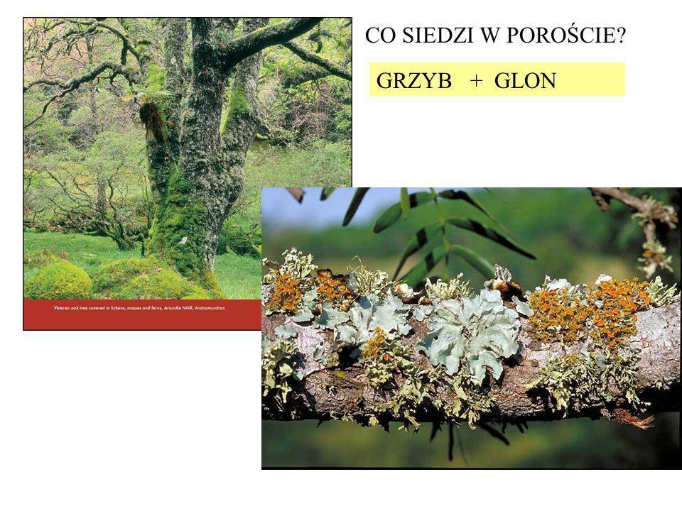 CO SIEDZI W POROŚCIE GRZYB + GLON
