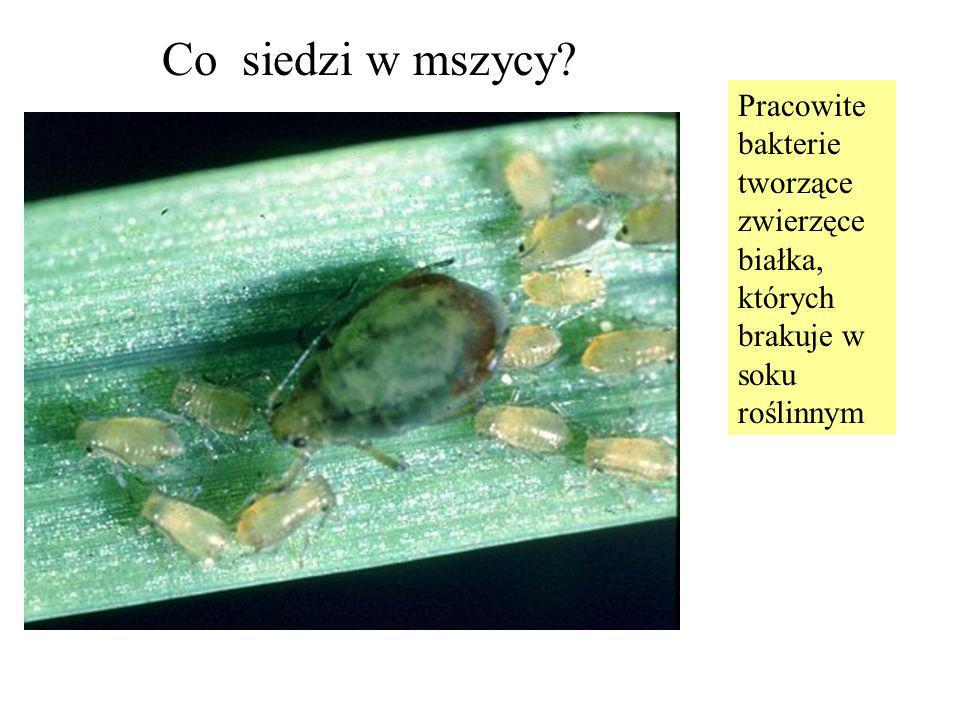 Co siedzi w mszycy Pracowite bakterie tworzące zwierzęce białka, których brakuje w soku roślinnym