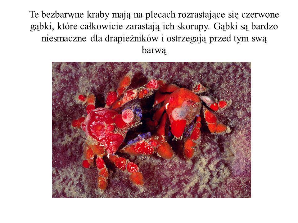 Te bezbarwne kraby mają na plecach rozrastające się czerwone gąbki, które całkowicie zarastają ich skorupy.