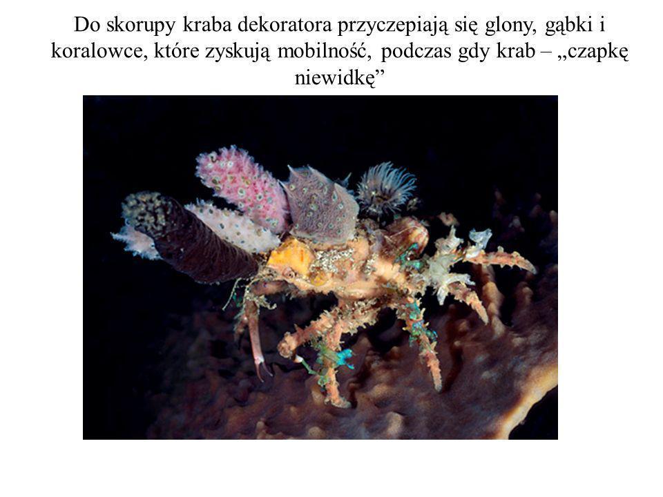 """Do skorupy kraba dekoratora przyczepiają się glony, gąbki i koralowce, które zyskują mobilność, podczas gdy krab – """"czapkę niewidkę"""