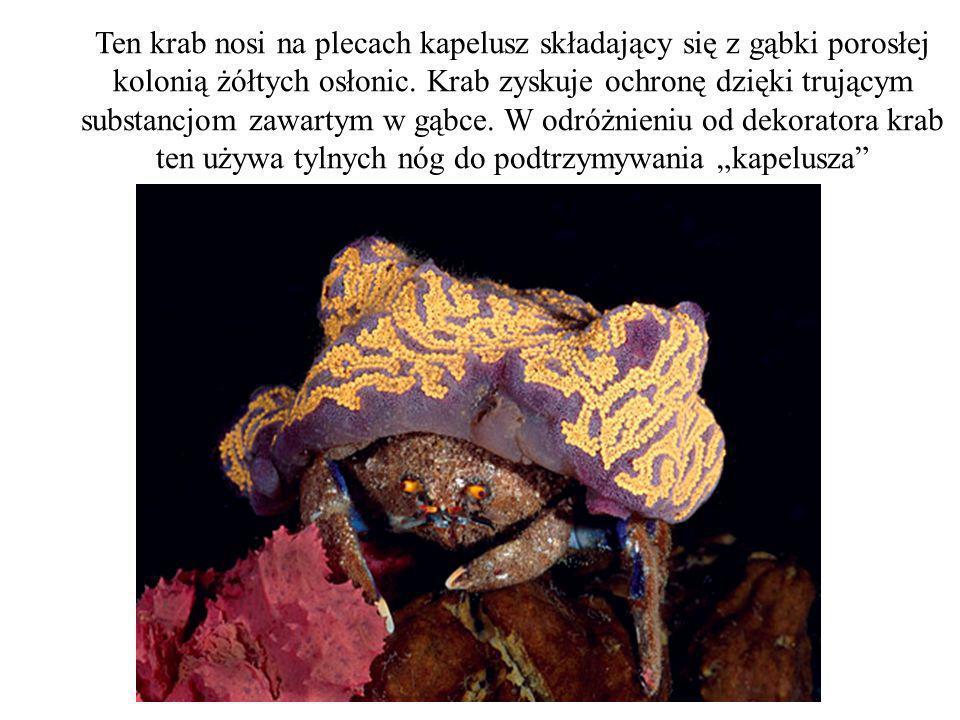 Ten krab nosi na plecach kapelusz składający się z gąbki porosłej kolonią żółtych osłonic.
