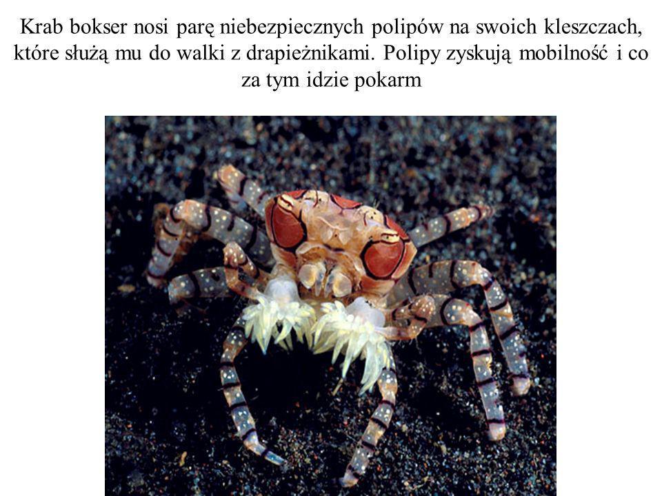 Krab bokser nosi parę niebezpiecznych polipów na swoich kleszczach, które służą mu do walki z drapieżnikami.