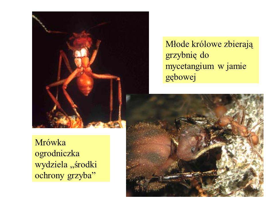 Młode królowe zbierają grzybnię do mycetangium w jamie gębowej