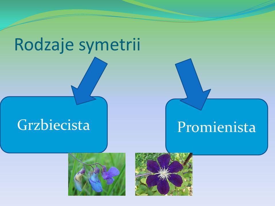 Rodzaje symetrii Grzbiecista Promienista